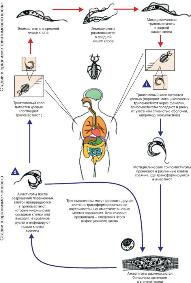 Как выявить укусы постельных клопов: типичные признаки