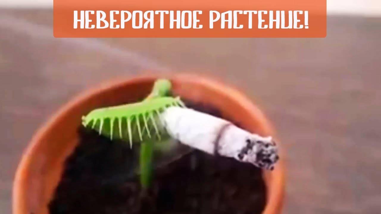 Венерина мухоловка уход в домашних условиях чем кормить зимовка