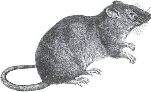 Укусила крыса: как помочь при нападении грызуна-бандита