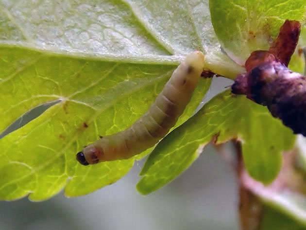 Болезни и вредители плодовых деревьев: описание и меры защиты