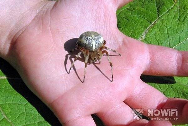 В москве появились ядовитые пауки в 2019 году: как выглядят каракурты
