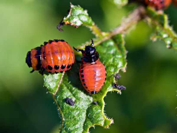 Применение березового дегтя против колорадского жука