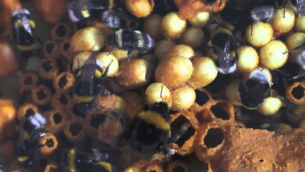 Осиный мед: существует ли?