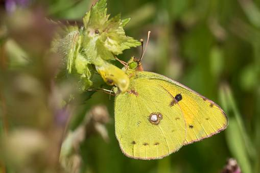 Бабочка желтушка