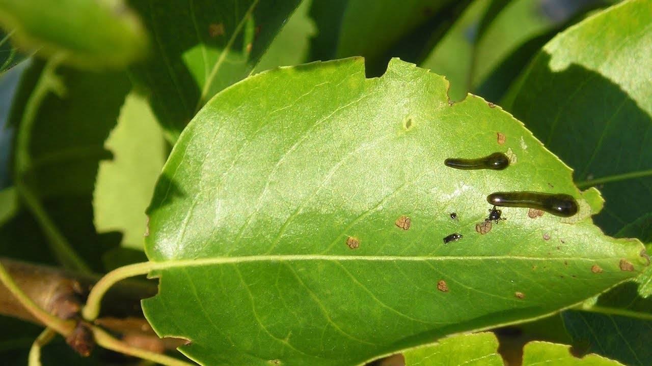 Вишневый слизистый пилильщик меры борьбы. насекомые пилильщики и борьба с ними в саду. фото различных видов