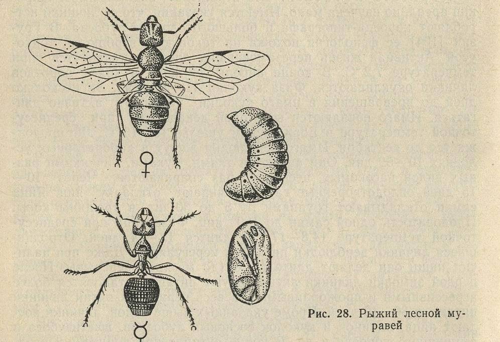 Пилильщик: меры борьбы, средства и препараты, сосновый и розанный виды
