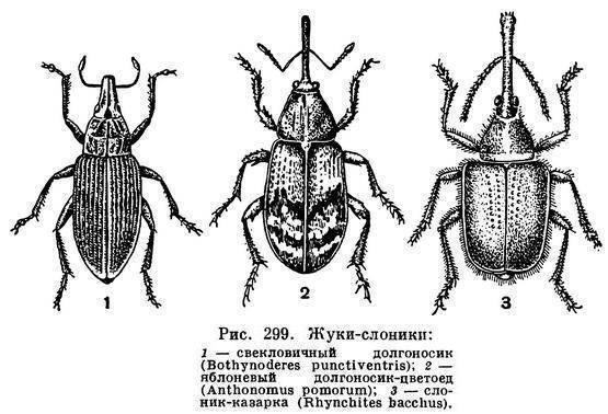 Водолюбы – мирные жуки, которых содержат в аквариумах