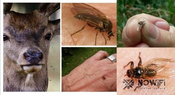 Оленья кровососка (лосиная блоха, муха, вошь, клещ)