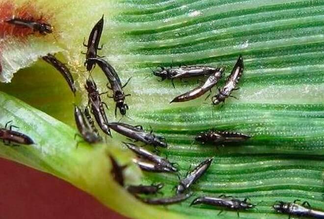 Трипс пшеничный – вредитель зерновых культур