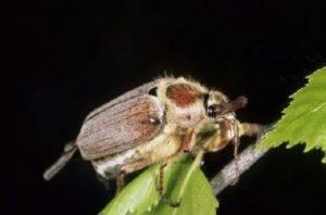 Майский жук: каким растениям угрожает и как бороться с его личинками