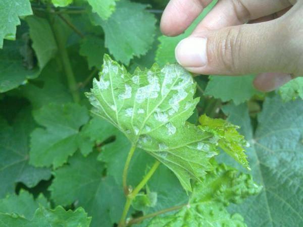 Чем обработать виноград перед цветением