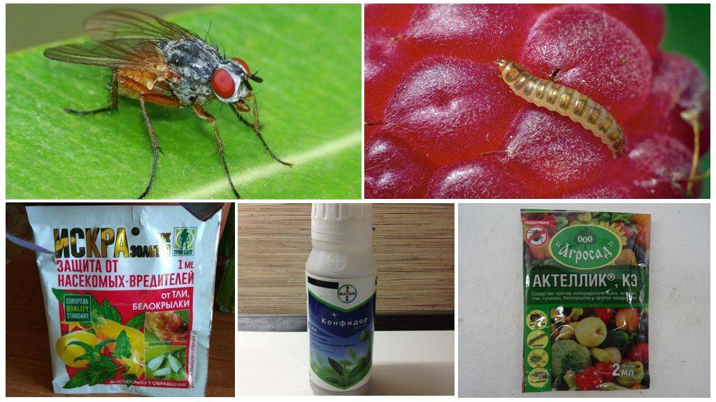 Все методы борьбы с малинной стеблевой мухой и профилактика