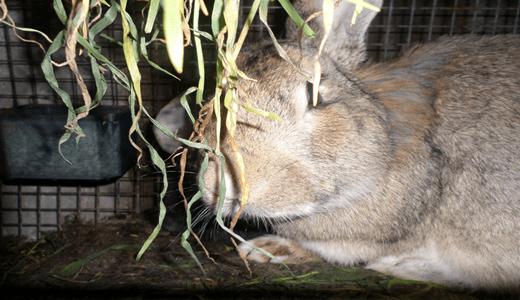 Блохи у кроликов — как вывести, какие способы лечения существуют