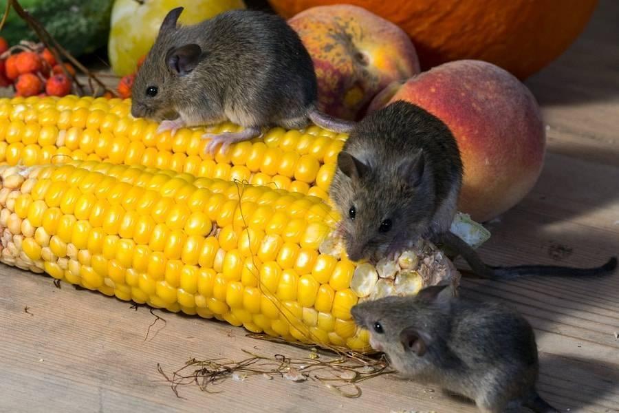 Как бороться с мышами в частном доме?