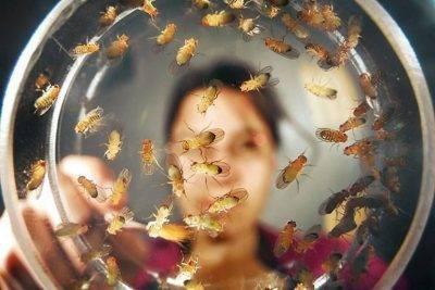 Капустная муха: методы борьбы препаратами и народными средствами