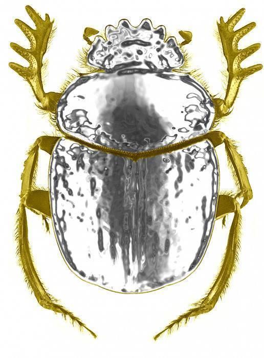 Жук плавунец
