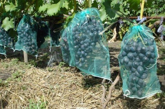 Как уберечь виноград от ос