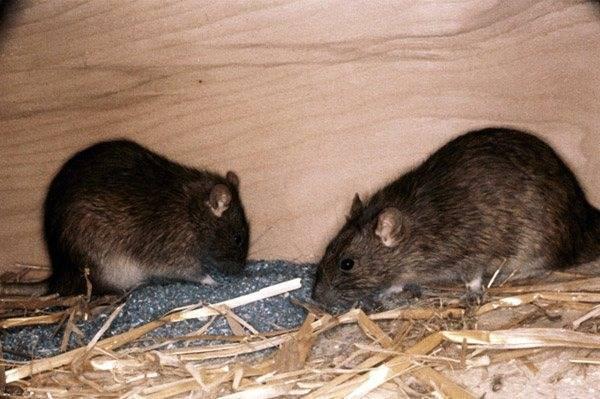Монтажная пена которую не грызут мыши