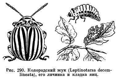 Колорадский жук – избавиться непросто, но возможно