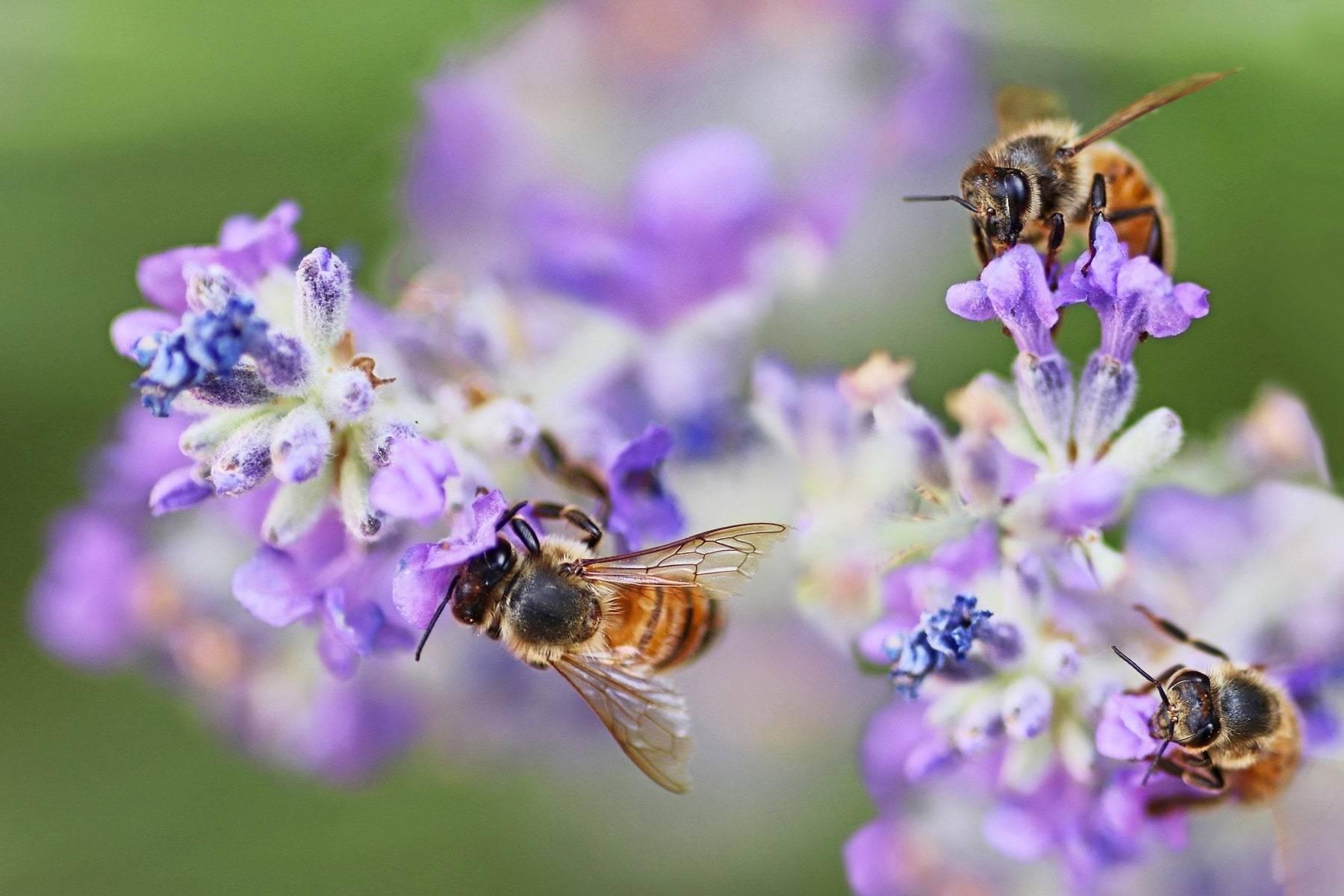 Какое растение отпугивает своим запахом моль