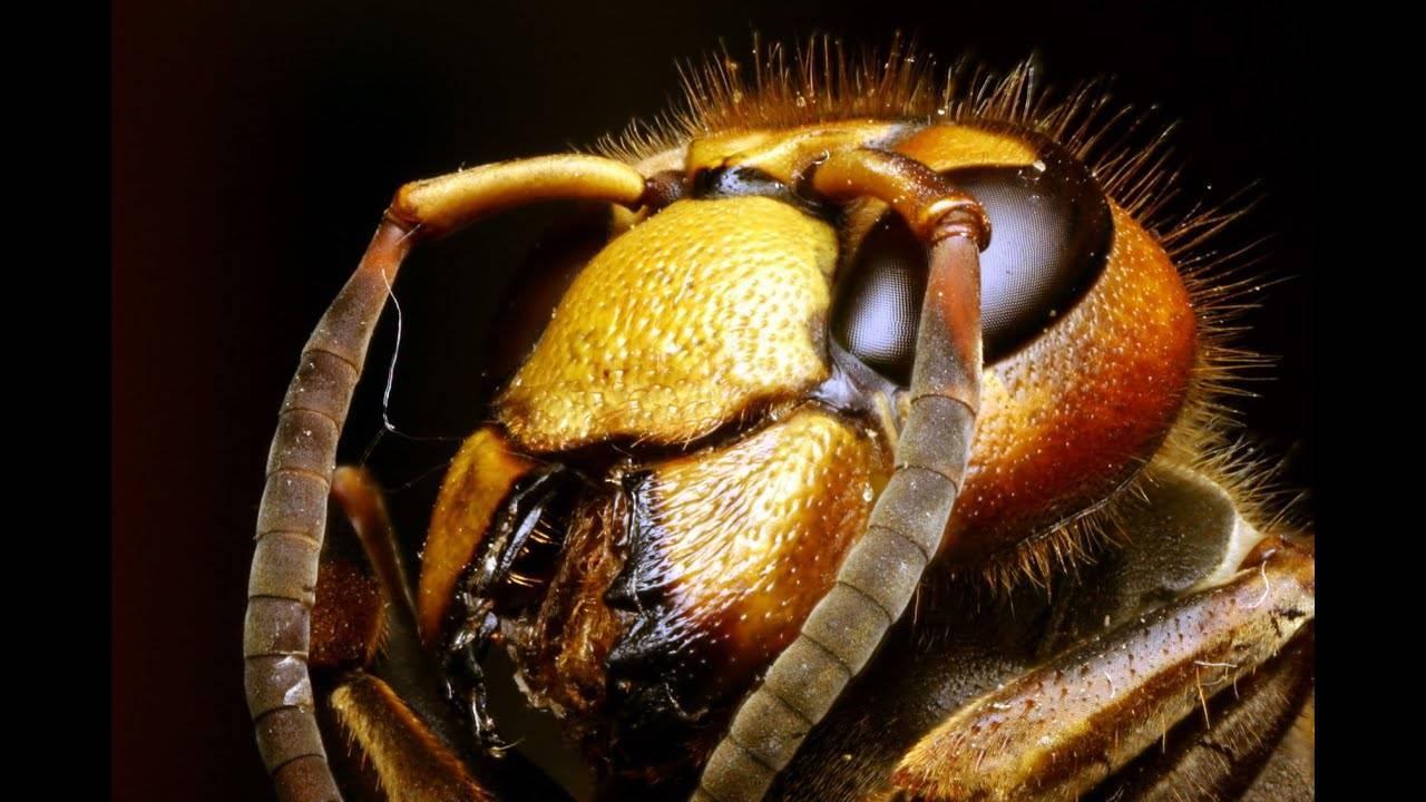 Огромные осы на участке: насколько опасны сколии и как их прогнать