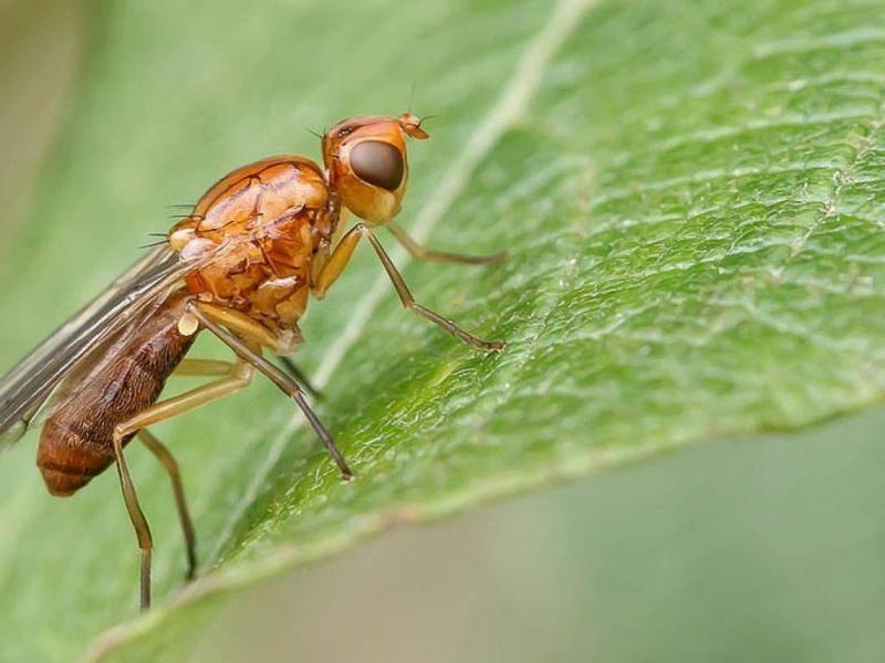 Как бороться с малиновой стеблевой мухой? препараты, народные средства, уход
