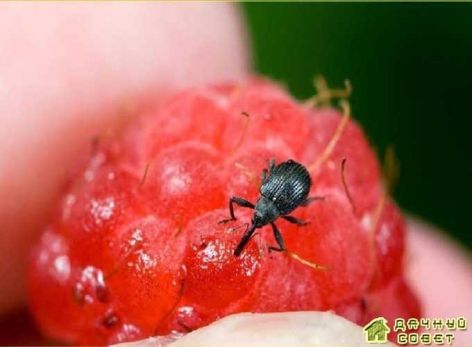 Листоблошки — морковная, грушевая и яблонная медяницы: виды, описание, как бороться