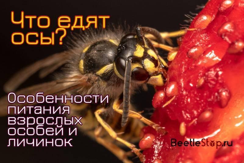 Что едят осы