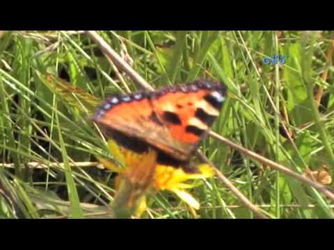 Бабочки крапивницы живет
