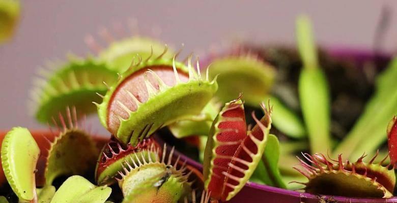 Выращивание и уход за венериной мухоловкой в домашних условиях