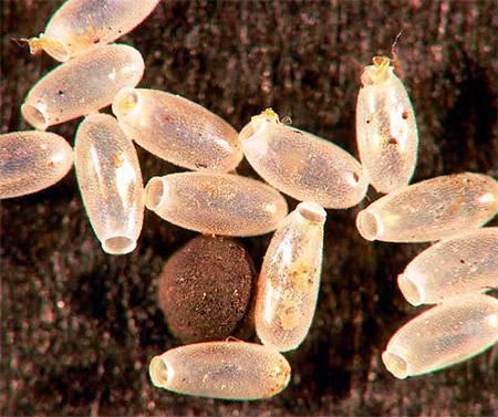 Оса палач – образ жизни, среда обитания и опасность укуса