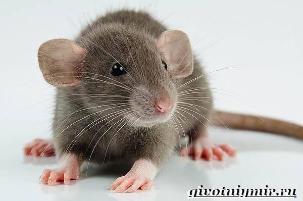 Серая крыса — неприятный и опасный грызун!