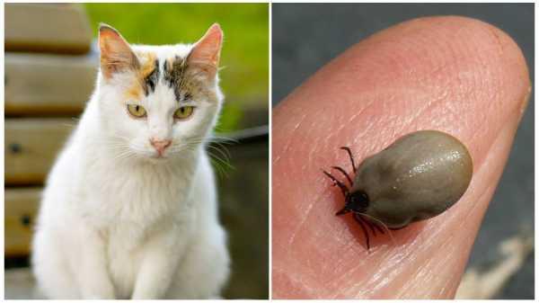 4 способа как вытащить голову и хоботок клеща, оставшийся в коже после удаления паразита в домашних условиях