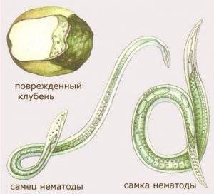 Симптомы и лечение нематодов в организме человека