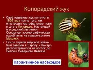 Размножение колорадского жука и фазы развития