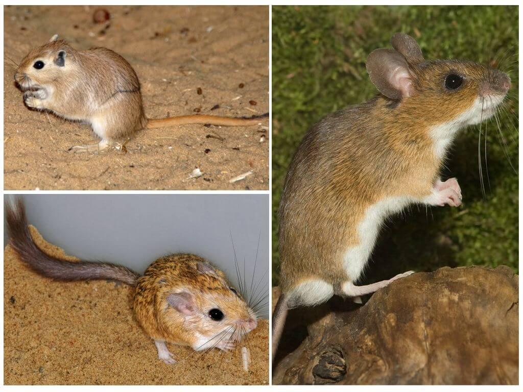Мыши: разнообразие видов этих животных
