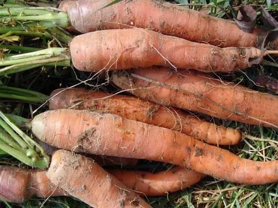 Болезни моркови   и эффективные методы борьбы