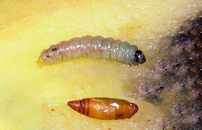 Личинки моли — как их найти и вывести в квартире?