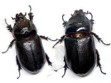 К чему снится большой жук: мужчине, женщине, коричневый, в квартире, который летает, ползает, кусает
