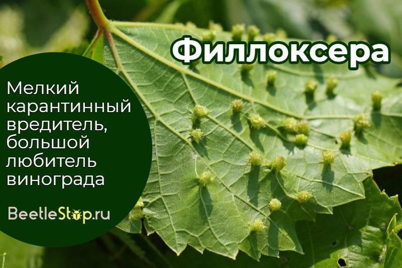Филлоксера - виноградная тля