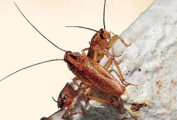 Как найти тараканье гнездо. как найти гнездо тараканов в квартире: где они живут и где прячутся. оптимальные места укрытий тараканов в квартире