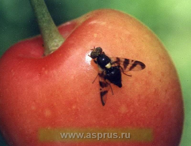Обработка и профилактика вишни – путь к здоровью дерева