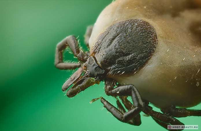 Где живут клещи – в траве или на деревьях, и в каких местах обитают энцефалитные клещи