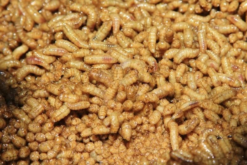 Болезнь вызванная личинками мух — кожный миаз: симптомы и лечение