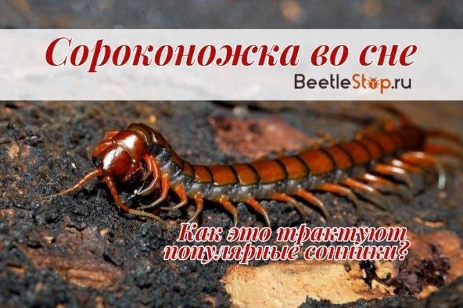 Черная сколопендра