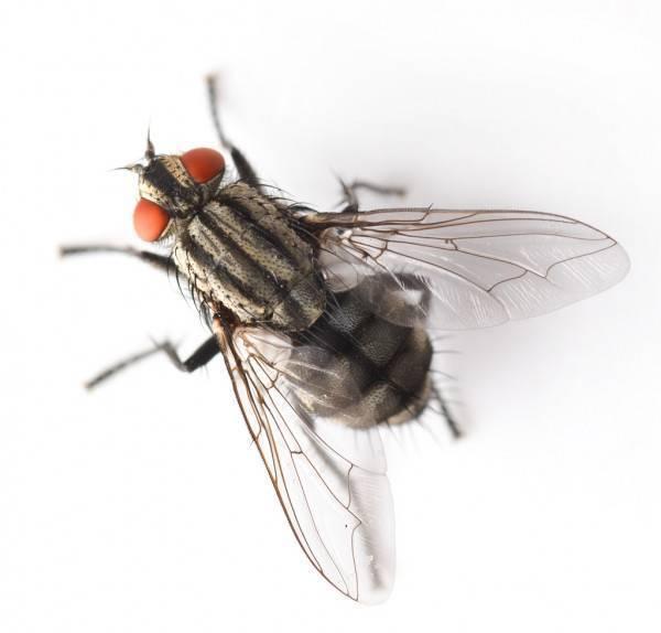 Как избавиться от мух в квартире