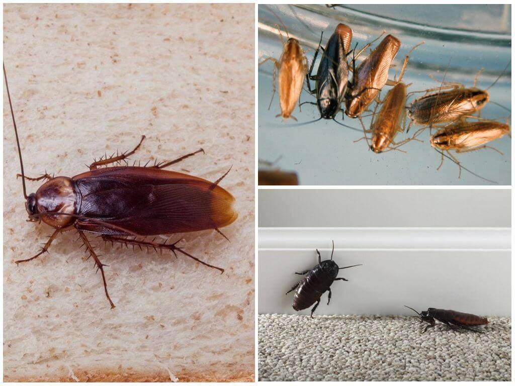 Опасны ли тараканы для здоровья человека