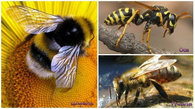 Оса, пчела, шмель, шершень — отличия