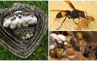 Как уничтожить ос и избавиться от осиного гнезда