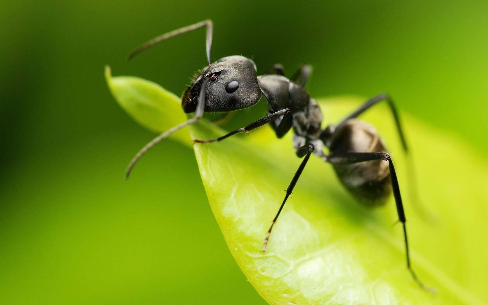 6 видов муравьев несущих опасность для людей